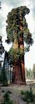 Thumb sequoia 01
